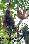Female Bornean Orang-Utan (Pongo pygmaeus) with infant in the rainforest canopy. Danum Valley, Sabah, Borneo.
