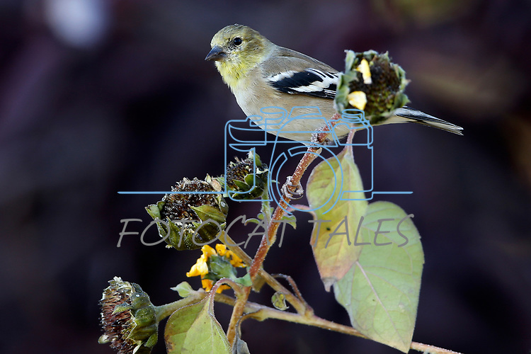A male American goldfinch eats sunflower seeds in Gardnerville, Nev., on Thursday, Oct. 22, 2020. <br /> Photo by Cathleen Allison