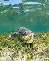 American crocodile, Crocodylus acutus, in seagrass meadow, Chinchorro Banks, Xcalak, Quintana Roo, Mexico, Caribbean Sea, Atlatnic Ocean