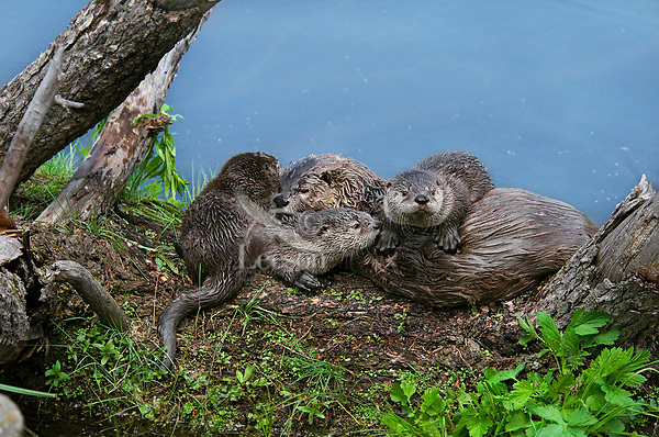 Northern River Otter (Lontra canadensis) family--mother with three pups play and rest on fallen log along edge of lake.  Western U.S., summer..