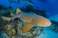 Nurse Shark, Ginglymostoma cirratum, Bahamas, Caribbean Sea, Atlantic