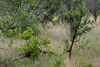 Jachtluipaard (Achionyx jubatus)