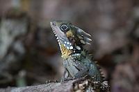 Boyd's Rainforest Dragon female