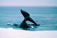 bowhead whale, Balaena mysticetus, flukes, Northwest Territories, Canada (Arctic Ocean)