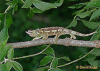 0716-06zz Jackson chameleon - Chamaeleo jacksonii - © David Kuhn/Dwight Kuhn Photography