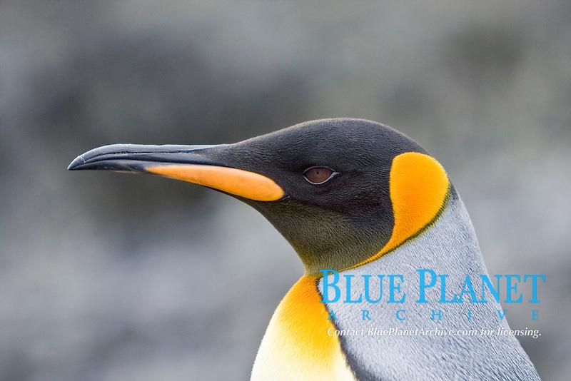 king penguin, Aptenodytes patagonicus, Barrentos Island in the Aitcho Island Group, South Shetland Islands, Antarctica