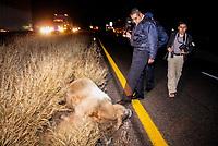 Fotografo Fausto Enrrique Ibarra. Vaca atropellada. <br /> **Photo:Luis*Gutierrez©