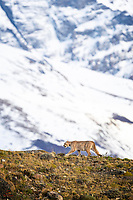 "We love the fill-the-frame Puma opportunities we got in Patagonia, but also love this type of shot.  We'll call this one ""Puma-scape"" since it really shows the wild young male Puma (Puma concolor or Felis concolor) in his habitat.  High up on a steep, rocky cliff, with the gorgeous snow-covered mountain peaks in the background.  Near Torres del Paine National Park, Patagonia, Chile."