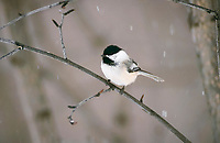 black-capped chickadee, Poecile atricapillus, adult, Homer, Alaska, USA, North America