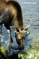 MS08-060z  Moose - young 1-2 months old at Baxter State Park - Alces alces.