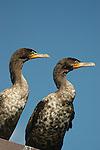 2 Cormorants