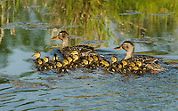 Mallard ducks (Anas platyrhynchos)--hens with young ducklings.  Pacific Northwest.  Spring.  Frequently, two mothers will band together to help protect their young.