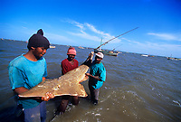 shark fishing, Fisherman with White-Spotted Shovelnose Shark Rhynchobatus djiddensis caught with gill net. Maputo, Mozambique, Africa, Indian Ocean