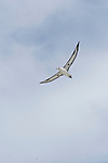 Laysan Albatross (Phoebastria immutabilis) flying, Midway Atoll, Hawaiian Leeward Islands, Hawaii