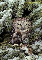 OW03-129z  Saw-whet owl - with mouse prey - Aegolius acadicus