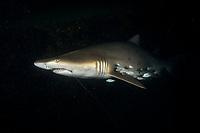 sand tiger shark, Carcharias taurus, aka grey nurse shark, spotted ragged-tooth shark, or blue-nurse sand tiger, with jacks, fish hook and trailing fishing line, Chichi-jima, Bonin Islands, Ogasawara Islands, Natural World Heritage Site, Tokyo, Japan, Pacific Ocean