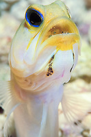 yellowhead jawfish, Opistognathus aurifrons, male incubating eggs on day 3, Bonaire, Netherland Antilles, Caribbean, Atlantic