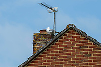 BNPS.co.uk (01202 558833)<br /> Pic: MaxWillcock/BNPS<br /> <br /> The 'vindictive' seagull in question.<br /> <br /> A homeowner is at his wits end after being repeatedly attacked by violent seagulls.<br /> <br /> Robin Edmonds was forced to flee for cover from the 'vindictive' bird that dive-bombed him as he left his home.<br /> <br /> The 49-year-old has been left in fear about going outside and has even bought a special hat to protect him.