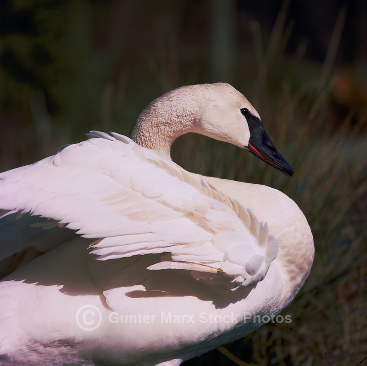 Trumpeter Swan (Cygnus buccinator aka Olor buccinator) ruffling Feathers - North American Birds and Swans