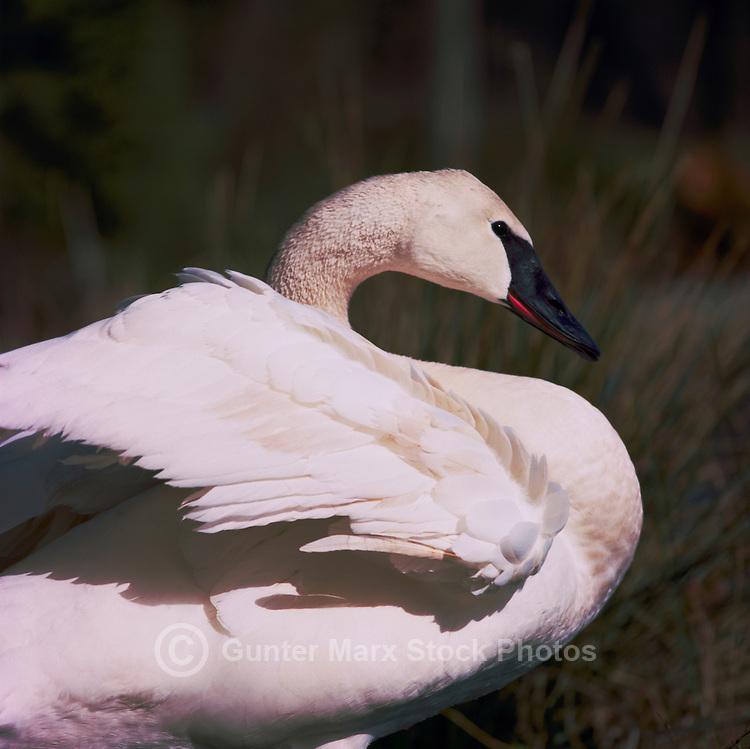 Trumpeter Swan (Cygnus buccinator aka Olor buccinator) ruffling Feathers - North American Birds and Swans