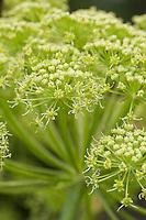 Arznei-Engelwurz, Echte Engelwurz, Angelica archangelica, Archangel, Garden Angelica, Holy Ghost, Wild Celery, Norwegian angelica