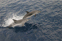 Atlantic spotted dolphins, Stenella frontalis, Azores Islands, Portugal, North Atlantic