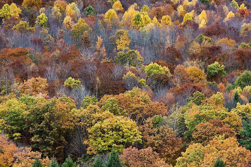 Colorful stand of autumn trees, Pennsylvania, USA