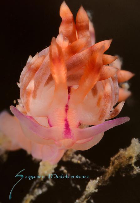 Redline Flabellina ,  Flabellina rubrolineata, Anilao, Philippines