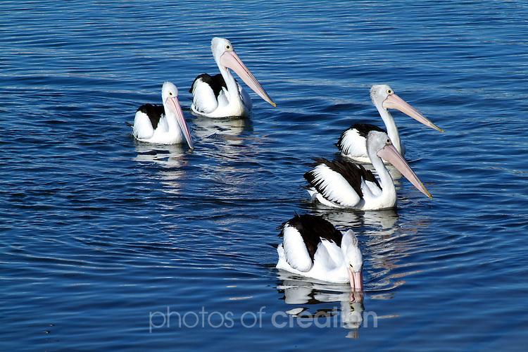 Four of A Kind.<br /> Australian Pelican - pelicanus conspicillatus.