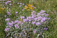 Wild Monarda fistulosa native wildflower American, Wild bergamont, wild beebalm