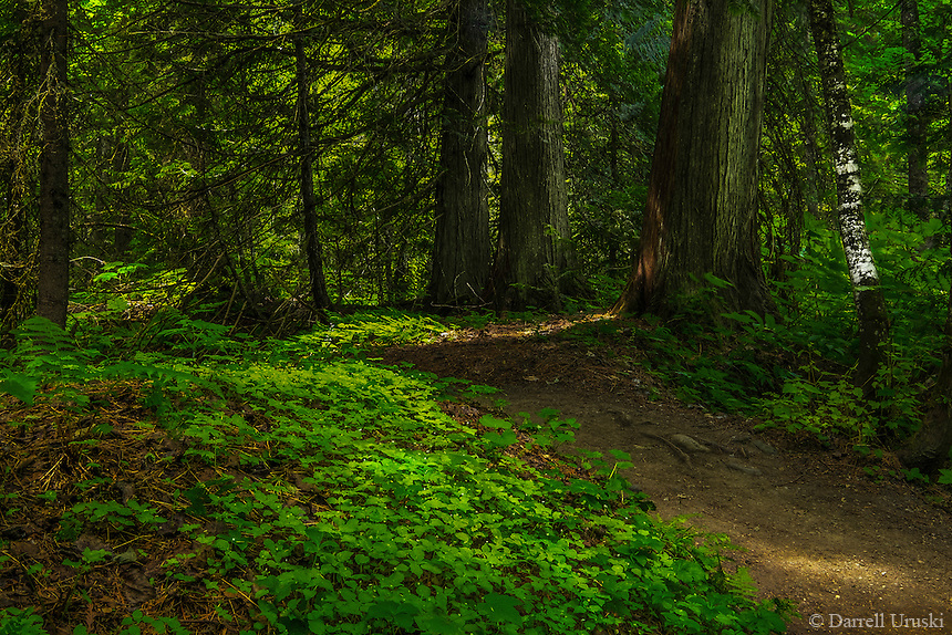 Fine Art Print Forest Scenic of a path winding amongst the leader trees in the mountains near Revelstoke BC, Canada.