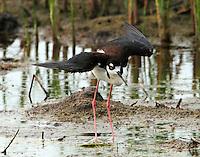Adult black-necked stilt