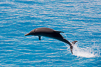 Spotted dolphin jumping Stenella frontalis Atlantic Ocean Bahamas