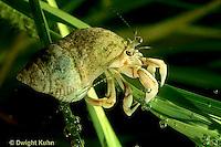 1Y43-005a  Dwarf Hermit Crab - in salt marsh - Pagurus longicarpus