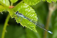 Fledermaus-Azurjungfer, Fledermausazurjungfer, Azurjungfer, Männchen frisst erbeutete Mücke, mit Beute, Coenagrion pulchellum, variable damselfly