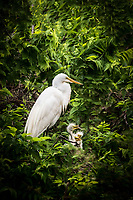 A great egret in the nest with her nestlings at Smith Oaks Rookery in High Island, Texas