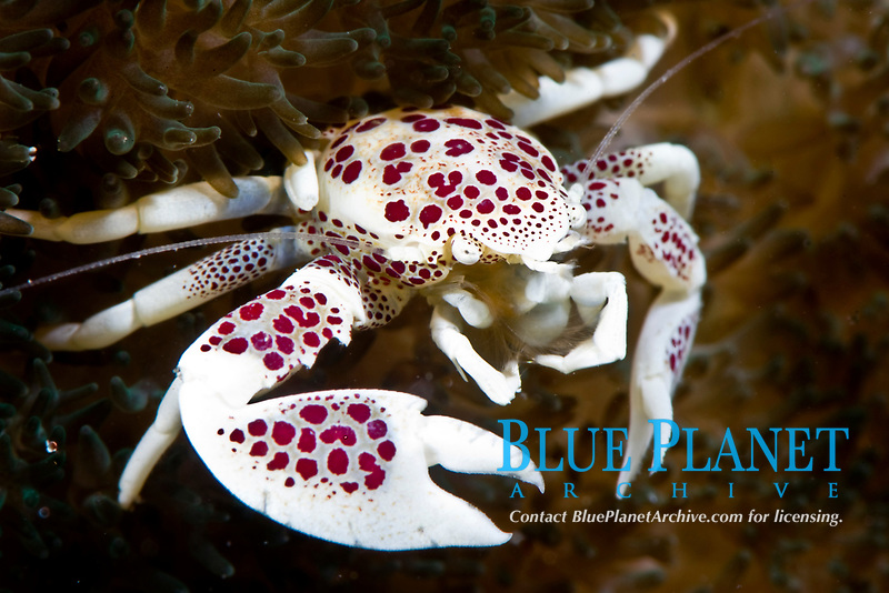 Spotted porcelain crab, neopetrolisthes, in an anemone