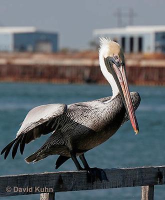 0307-0821  Brown Pelican, Pelecanus occidentalis © David Kuhn/Dwight Kuhn Photography.