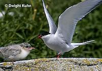 MC73-001z  Arctic Tern - parent feeding young chick - Machias Seal Island, Bay of Fundy - Sterna paradisaea