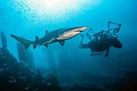 A scuba diver swims near a a Sand Tiger Shark, Carcharias taurus, on the Carib Sea shipwreck offshore Morehead City, North Carolina, USA, Atlantic Ocean