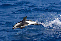 Hourglass Dolphin (Lagenorhynchus cruciger), adult, porpoising from sea, South Georgia, South Atlantic Ocean