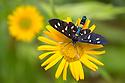 Nine-spotted Moth (Amata phegea) feeding from a Mountain Arnica flower (Arnica montana). Triglav National Park, Julian Alps, Slovenia. July.