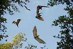 Straw-coloured Fruit Bats (Eidolon helvum) in flight at their daytime roost in Mushitu' or ever-green swamp forest. Kasanka National Park, Zambia.