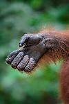 Hand of male Bornean Orang-Utan (Pongo pygmaeus). Camp Leakey, Tanjung Puting National Park, Kalimantan, Borneo.