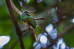 White-chinned Jacamar (Galbula tombacea tombacea) in forest understorey. Bavaria Private Reserve near Villavicencio, lower eastern slopes of the Andes, Colombia.
