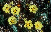 Halimium lasianthum subsp. formosum aka Cistus formosus