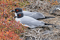 Swallow-tailed Gull (Creagrus furcatus), pair, Galapagos Islands, Ecuador, South America