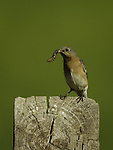 Eastern Bluebird female with worm