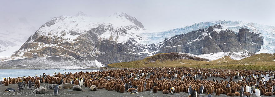 Colonies of King Penguins (Mirounga leonina) and Southern Elephant Seals (Mirounga leonina) on beach. Digitally stitched panormaic image. Gold Harbour, South Georgia. November.
