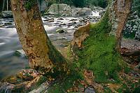 American sycamore and Big Creek<br /> Big Creek Trail<br /> Great Smoky Mountains National Park<br /> North Carolina